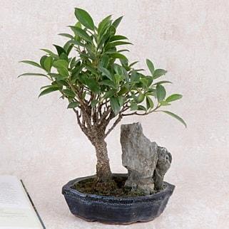Japon ağacı Evergreen Ficus Bonsai  Kırklareli uluslararası çiçek gönderme