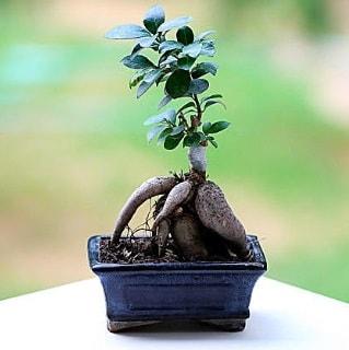 Marvellous Ficus Microcarpa ginseng bonsai  Kırklareli çiçek gönderme sitemiz güvenlidir