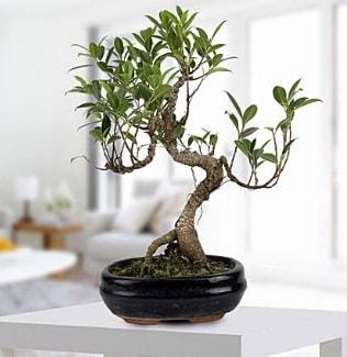 Gorgeous Ficus S shaped japon bonsai  Kırklareli çiçek siparişi vermek