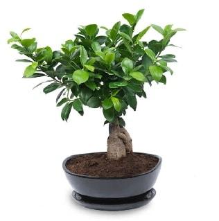 Ginseng bonsai ağacı özel ithal ürün  Kırklareli online çiçekçi , çiçek siparişi