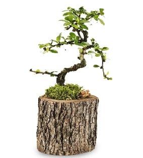 Doğal kütükte S bonsai ağacı  Kırklareli çiçek online çiçek siparişi