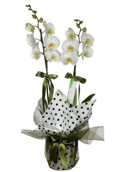Çift Dallı Beyaz Orkide  Kırklareli çiçek , çiçekçi , çiçekçilik