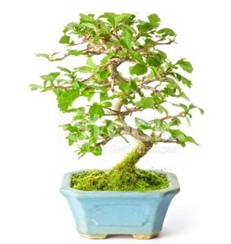 S zerkova bonsai kısa süreliğine  Kırklareli cicekciler , cicek siparisi