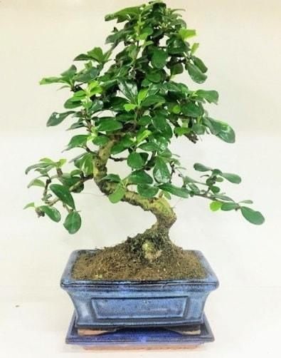 S Bonsai japon ağacı bitkisi  Kırklareli çiçek satışı