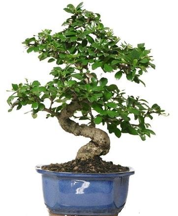 21 ile 25 cm arası özel S bonsai japon ağacı  Kırklareli hediye sevgilime hediye çiçek