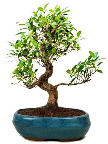 25 cm ile 30 cm aralığında Ficus S bonsai  Kırklareli uluslararası çiçek gönderme