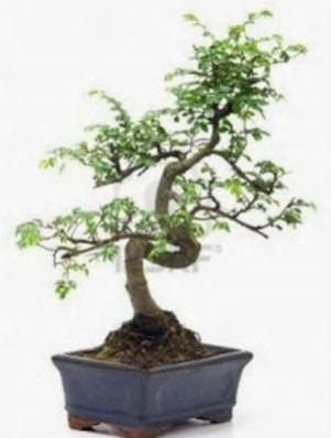 S gövde bonsai minyatür ağaç japon ağacı  Kırklareli çiçek online çiçek siparişi