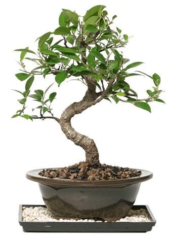 Altın kalite Ficus S bonsai  Kırklareli hediye sevgilime hediye çiçek  Süper Kalite