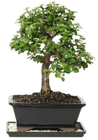 15 cm civarı Zerkova bonsai bitkisi  Kırklareli yurtiçi ve yurtdışı çiçek siparişi