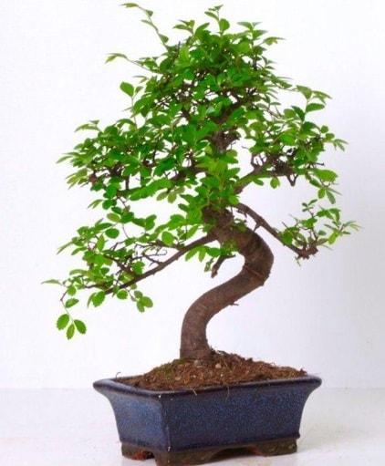 S gövdeli bonsai minyatür ağaç japon ağacı  Kırklareli uluslararası çiçek gönderme