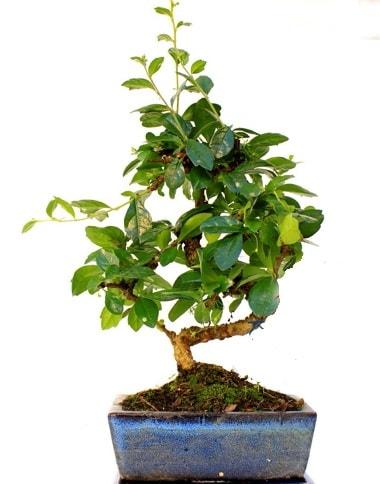 S gövdeli carmina bonsai ağacı  Kırklareli 14 şubat sevgililer günü çiçek  Minyatür ağaç