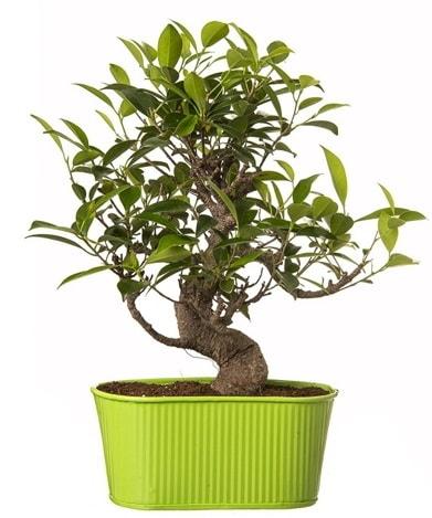 Ficus S gövdeli muhteşem bonsai  Kırklareli yurtiçi ve yurtdışı çiçek siparişi