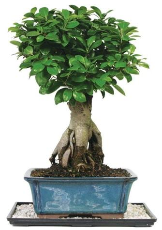Bonsai Ginsing Grafted Ficus Bonsai  Kırklareli 14 şubat sevgililer günü çiçek