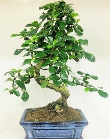 Zelkova S gövdeli Minyatür ağaç Bonzai  Kırklareli anneler günü çiçek yolla