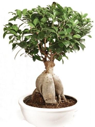 Ginseng bonsai japon ağacı ficus ginseng  Kırklareli cicekciler , cicek siparisi